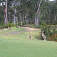 Kangaroos near green on Hole 16